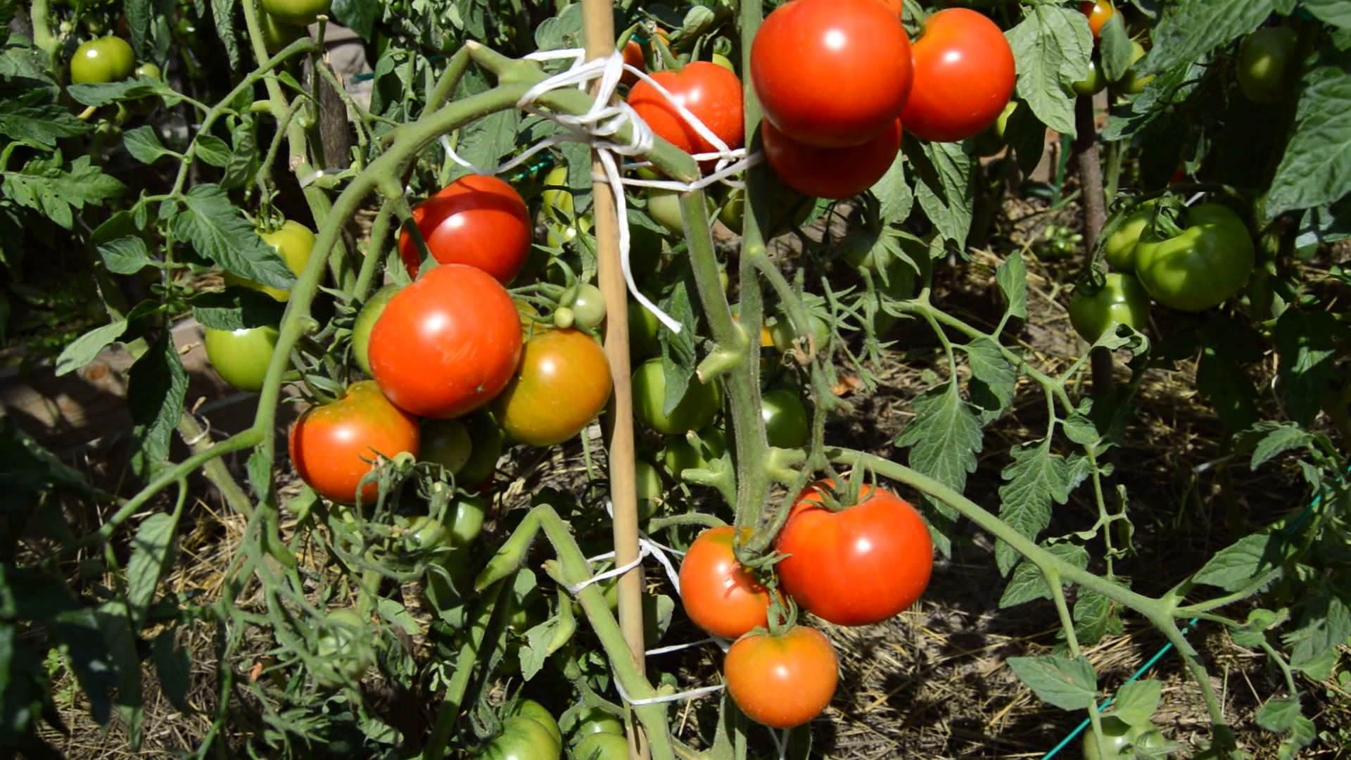 Выращивание томатов особенности 38