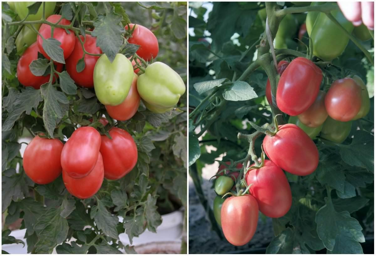 Форум сорт помидор