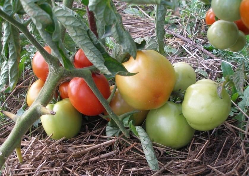 Помидоры ямал выращивание 3